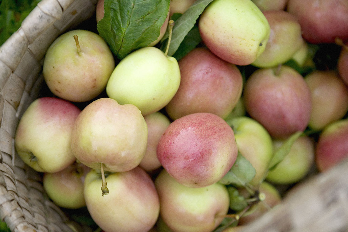 Newly harvested apples in basket